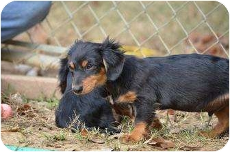 Dachshund Puppy for adoption in New Boston, New Hampshire - Dewey