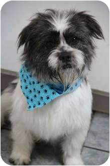 Cairn Terrier/Shih Tzu Mix Dog for adoption in Yuba City, California - Sammy