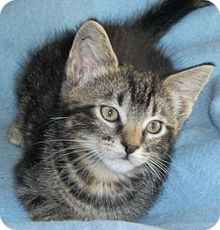 Domestic Shorthair Kitten for adoption in North Highlands, California - Flopsey