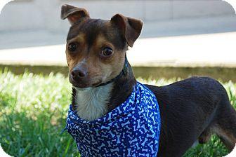 Chihuahua Dog for adoption in Lexington, Kentucky - Precious