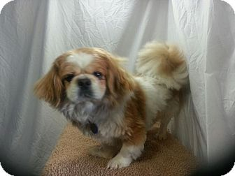 Pekingese Dog for adoption in Ogden, Utah - Griffin