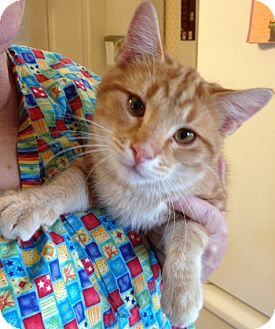Domestic Shorthair Cat for adoption in Troy, Ohio - Marty