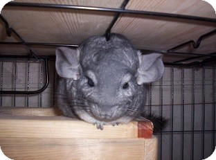 Chinchilla for adoption in Avondale, Louisiana - Tiki