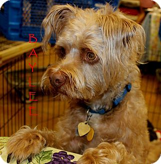 Poodle (Standard)/Schnauzer (Miniature) Mix Dog for adoption in Silsbee, Texas - Baylee