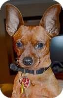 Miniature Pinscher Mix Dog for adoption in Syracuse, New York - Billy
