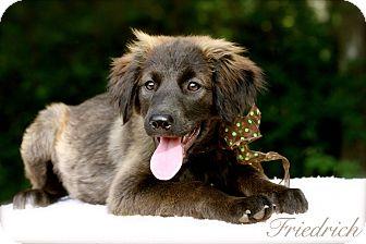 Retriever (Unknown Type)/Shepherd (Unknown Type) Mix Puppy for adoption in Wilmington, Delaware - Friedrich