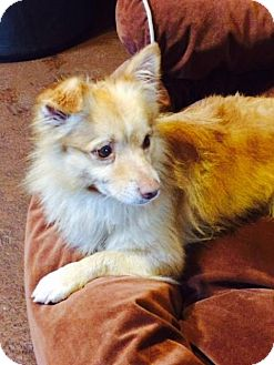 Pomeranian/Papillon Mix Dog for adoption in Brooklyn, New York - Stupendous Stanley