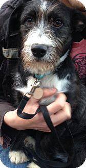 Airedale Terrier/Labrador Retriever Mix Puppy for adoption in Marietta, Georgia - Baker