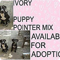 Adopt A Pet :: IVORY - Hollywood, FL