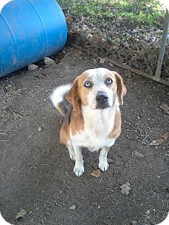Australian Shepherd/Beagle Mix Dog for adoption in East Hartford, Connecticut - Sinatra in CT