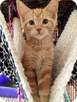 Domestic Shorthair Kitten for adoption in Franklin, Indiana - Pumpkin
