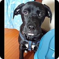 Adopt A Pet :: Diesel - Brant, ON