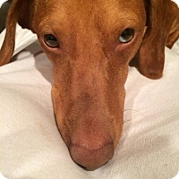 Adopt A Pet :: *Preston - PENDING - Westport, CT