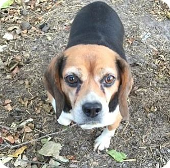 Beagle Dog for adoption in Union Grove, Wisconsin - Beatrice- PENDING!