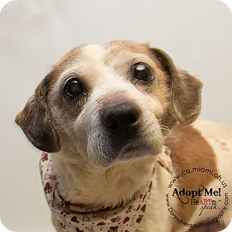Beagle Mix Dog for adoption in Troy, Ohio - Orville-Pending Rescue