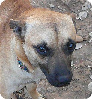 Chihuahua/Pug Mix Dog for adoption in San Antonio, Texas - Ranger