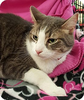 Domestic Shorthair Cat for adoption in Wayne, New Jersey - Kipper