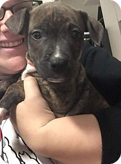 American Pit Bull Terrier Mix Puppy for adoption in Plainfield, Illinois - Dot