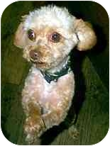 Miniature Poodle/Yorkie, Yorkshire Terrier Mix Dog for adoption in dewey, Arizona - Emerson
