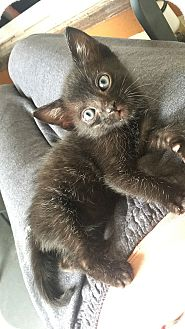 Domestic Shorthair Kitten for adoption in Tampa, Florida - Bear