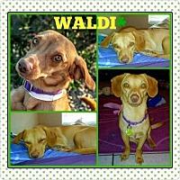 Dachshund Mix Dog for adoption in Scottsdale, Arizona - Waldi