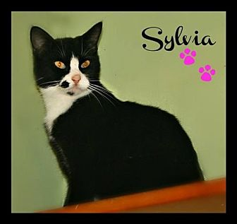Domestic Shorthair Cat for adoption in Marion, Kentucky - Sylvia