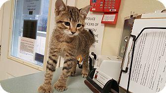 Domestic Shorthair Kitten for adoption in Cody, Wyoming - Rory