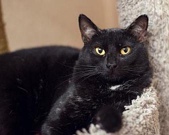 Domestic Shorthair Cat for adoption in Palm Springs, California - Maganda