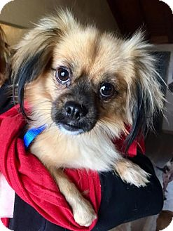 Pekingese/Pomeranian Mix Dog for adoption in Pittsburgh, Pennsylvania - Eva
