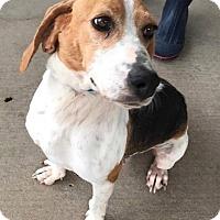 Adopt A Pet :: Daisy May - Batesville, AR