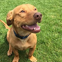 Dachshund/American Pit Bull Terrier Mix Dog for adoption in Birdsboro, Pennsylvania - Mugsley