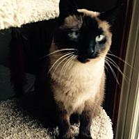 Siamese Cat for adoption in Cincinnati, Ohio - Scotty