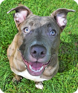 Pit Bull Terrier/Labrador Retriever Mix Dog for adoption in Michigan City, Indiana - Eevee