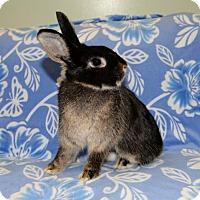Adopt A Pet :: Bali - Chesterfield, MO