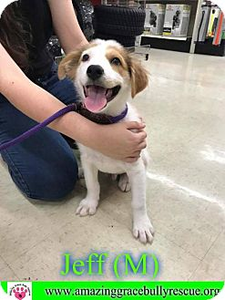 Collie/Jack Russell Terrier Mix Puppy for adoption in Pensacola, Florida - Jeff