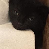 Adopt A Pet :: Hercules Mulligan - Maywood, IL