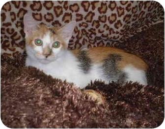 Calico Kitten for adoption in Honesdale, Pennsylvania - Callie