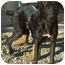 Photo 2 - Great Dane/Labrador Retriever Mix Dog for adoption in Acton, California - Lola