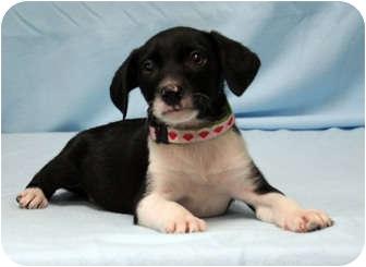 Brittany/Weimaraner Mix Puppy for adoption in Westminster, Colorado - JOY