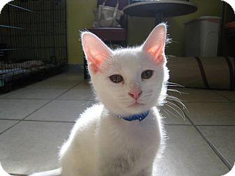 Domestic Shorthair Kitten for adoption in Byron Center, Michigan - Zeus