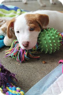 Terrier (Unknown Type, Small)/Italian Greyhound Mix Puppy for adoption in Raleigh, North Carolina - Carter