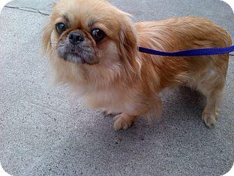 Pekingese Dog for adoption in Brooklyn, New York - Chloe
