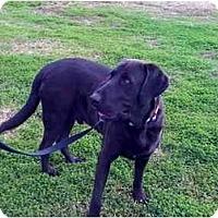 Adopt A Pet :: SCOUT - Houston, TX
