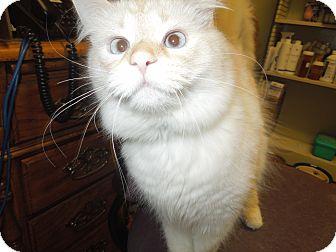 Siamese Cat for adoption in Medina, Ohio - Gary