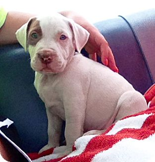 Pit Bull Terrier Mix Puppy for adoption in Cincinnati, Ohio - Kingsley