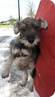 Schnauzer (Miniature) Puppy for adoption in St. Petersburg, Florida - Sam
