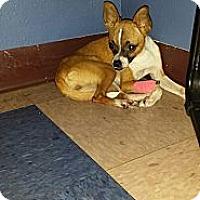 Adopt A Pet :: Button - Houston, TX