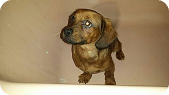 Dachshund/Pug Mix Puppy for adoption in Piscataway, New Jersey - Red Girl