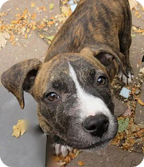 American Staffordshire Terrier/Labrador Retriever Mix Puppy for adoption in Englewood, Colorado - DRAKE