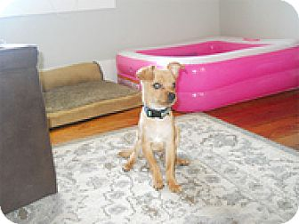 Chihuahua Mix Puppy for adoption in Spring City, Tennessee - Ollie